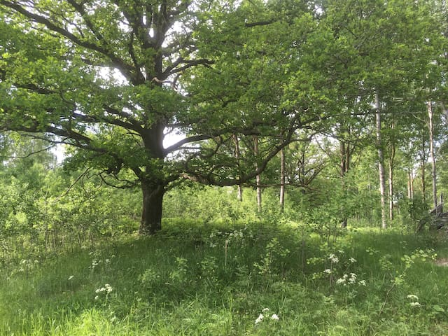 Around our farm there are hundred of oak trees, some are 400 years old.