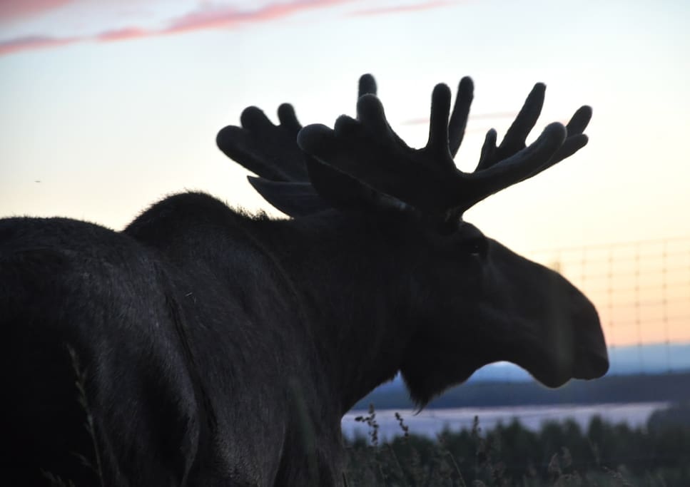 You will have several moose walking 100m from your lodge. You will be able to see them from the kitchen table or from the bed. We have 100% moose guarantee!