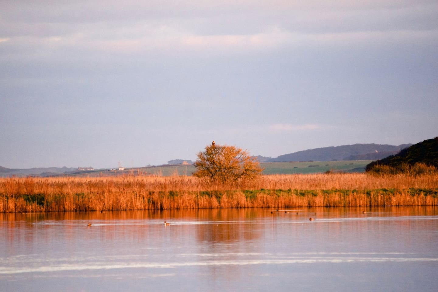 A Marsh Harrier watches waterfowl in a splash in the marshes
