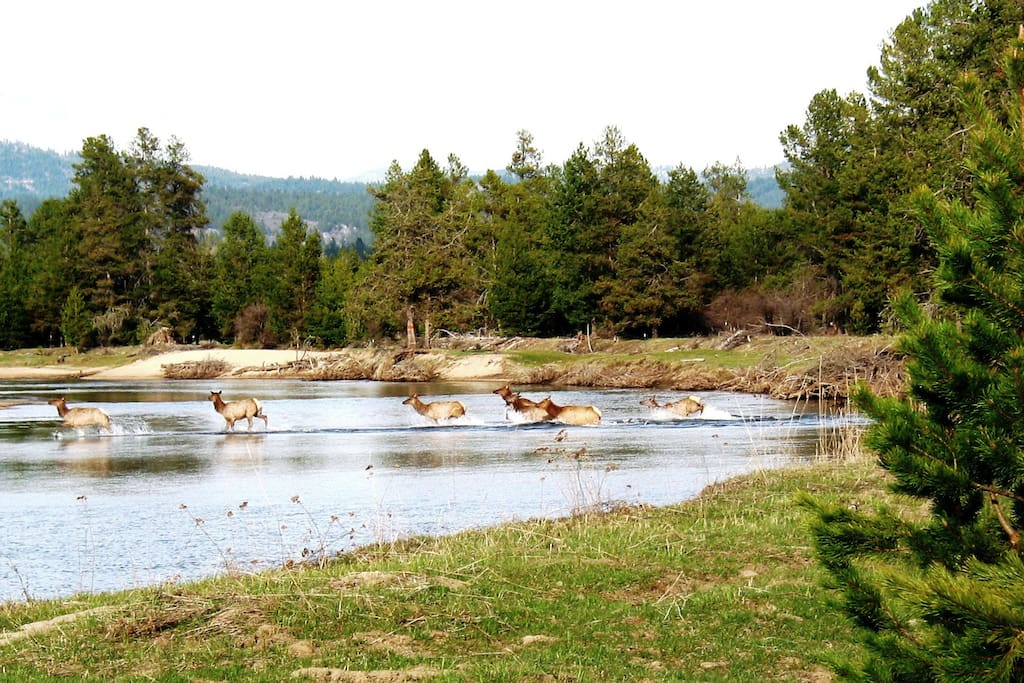 Elk crossing the Payette River which is the West Border of of Island Ranch.