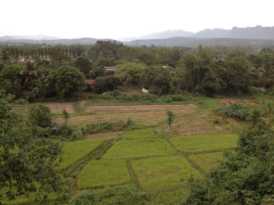 View of a rice field