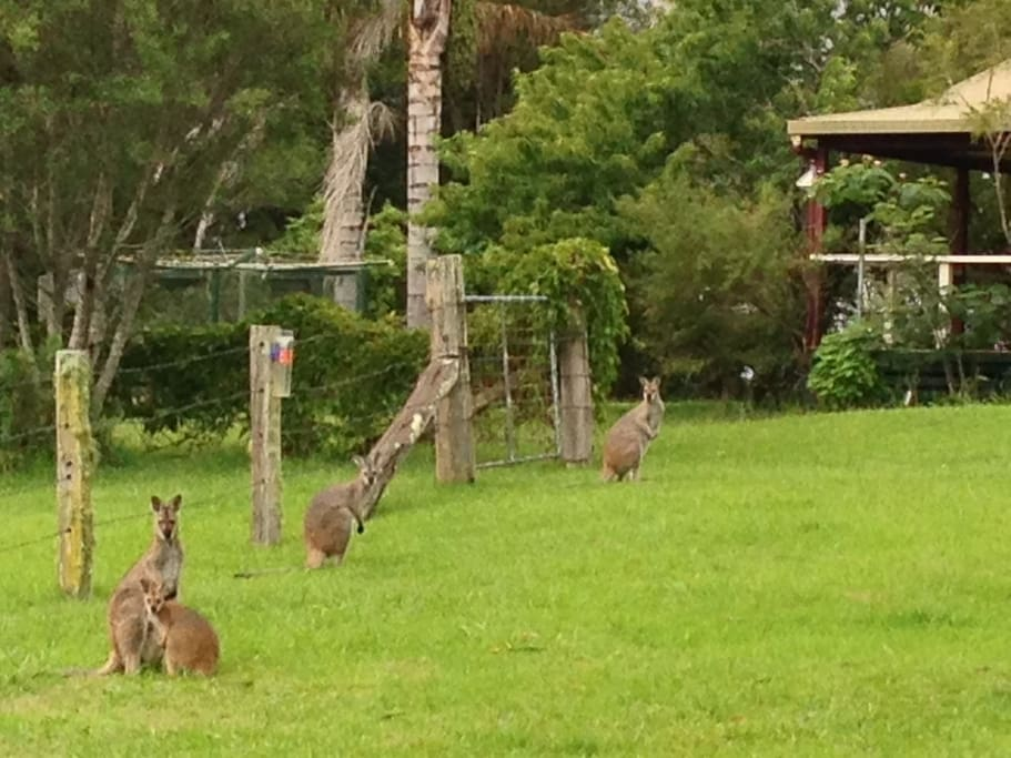 Wallabies wait in the back yard