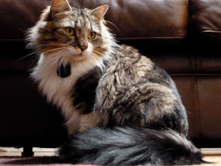 Snickers, the mostly Maine Coon cat, waits to welcome you.