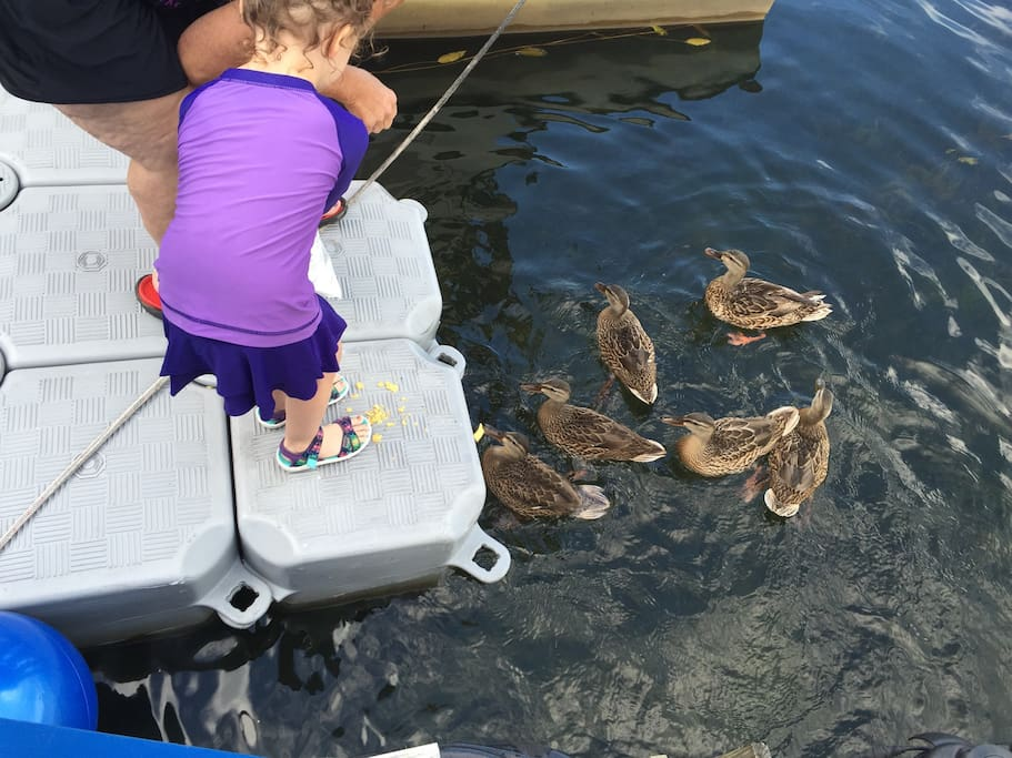 The ducks show up for food!