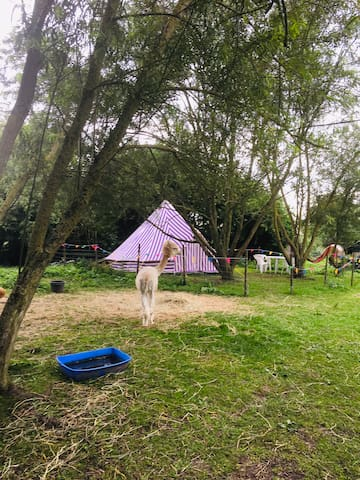 Fab bell tent on small farm with alpacas and pigs