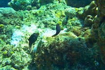 A pair of spotted puffer fish
