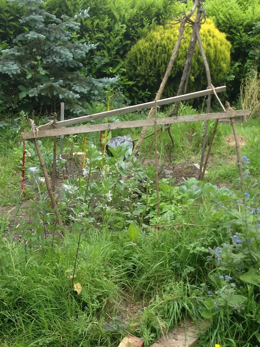 Veg beds. Broad beans, salad, onions, beetroot.