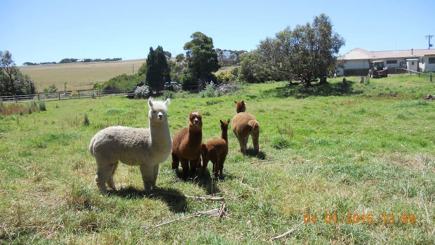 The Alpacas (L - R) Puti, Moccha, Chino and Rama