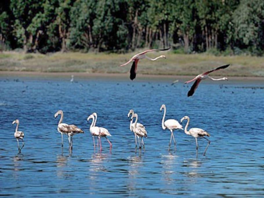 Flamingos na Lagoa Óbidos