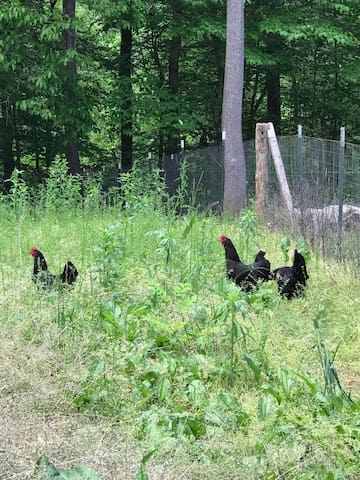Our free range chickens.