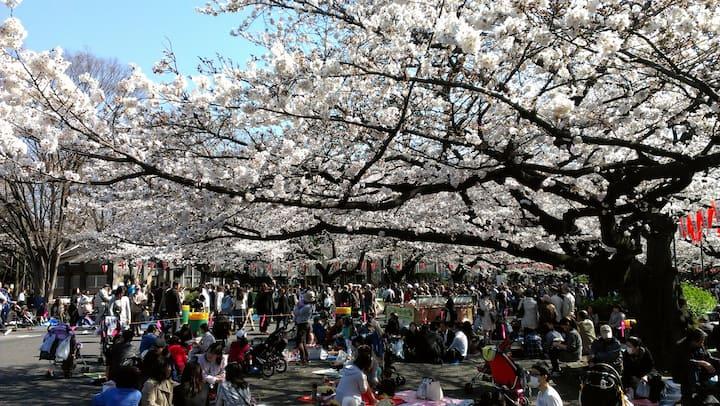 Cherry viewing (Ueno Park)