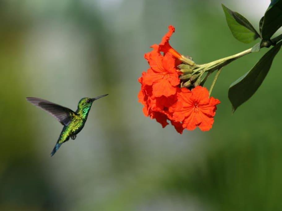 kolibrie in de tuin