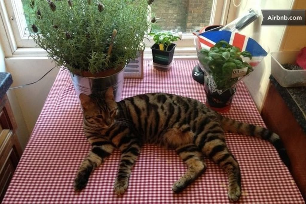 Suki the Toyger cat runs around forcing you to play or cuddle him! Hes an indoor cat only so please dont let him outside