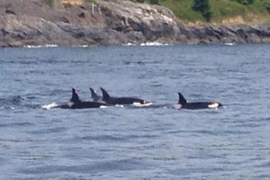 Orcas off the south side of San Juan