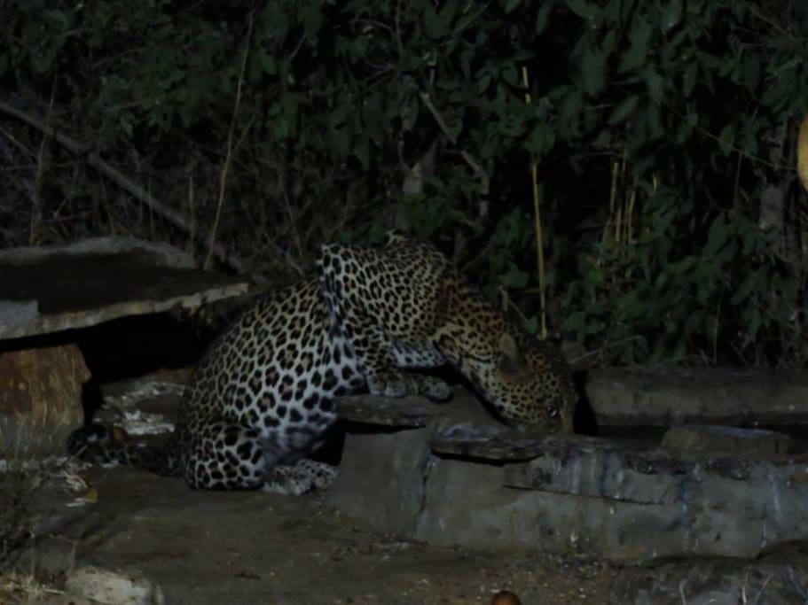 "One of our ""resident"" leopard drops in  for a drink at the water hole"