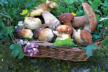 Wild Porcini mushrooms from our garden