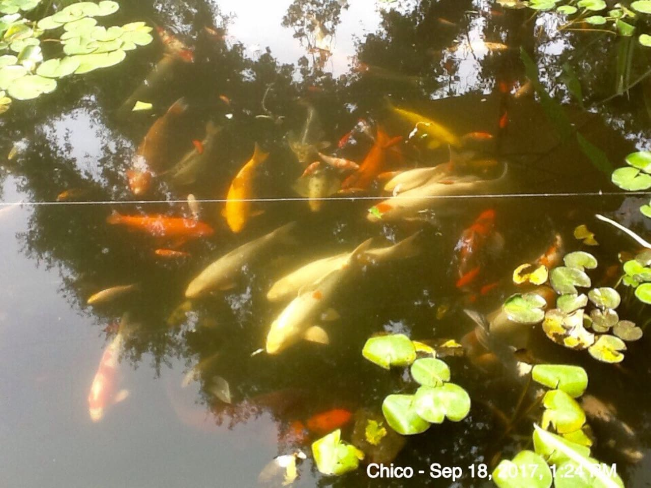 Some of my koi. I feed in the afternoon. It's a frenzy!