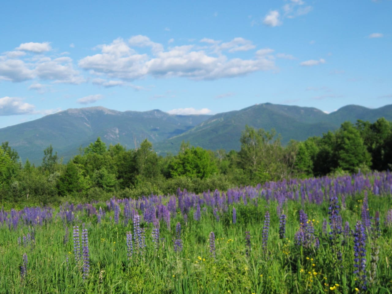 Abundant lupines surround the chalet  & local fields in June for about 3 weeks.