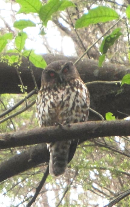 Mike the Morepork in one of our trees.