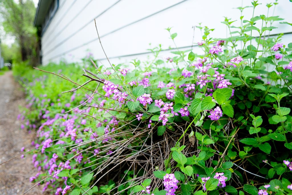 Lantana blooming along the alley behind the apartment.