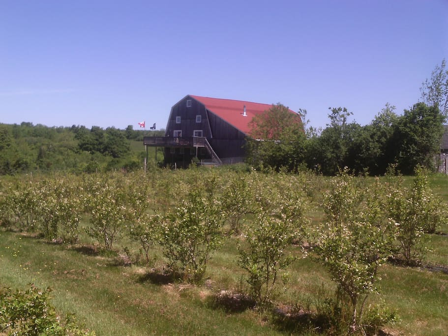 view across blueberry field to barn