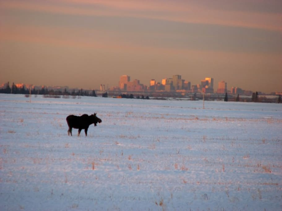 A moose with the city of Edmonton in the backgroundp