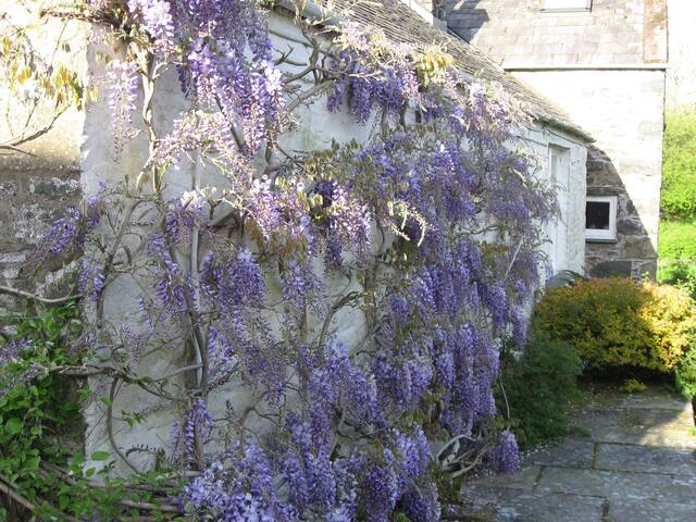 Wisteria on the Mill