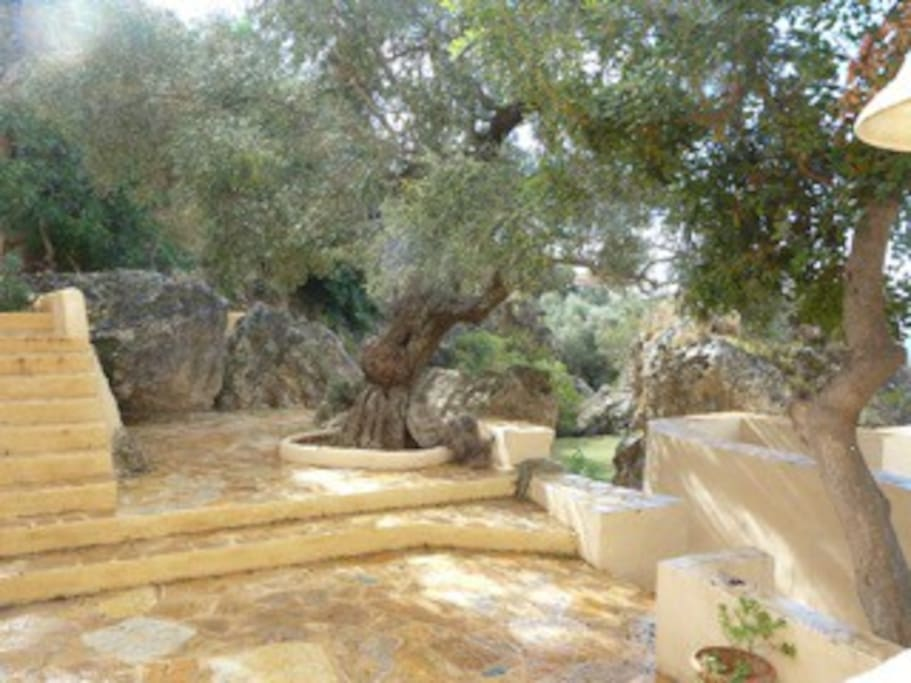 Terrace outside kitchen with 1000 yr old olive tree