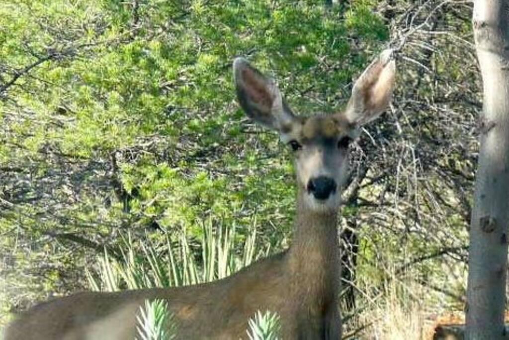Mule deer photographed through bedroom window