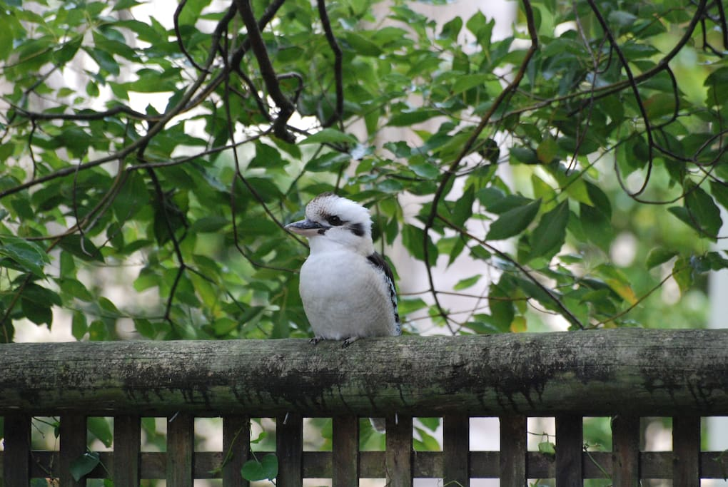 Kookaburra, another native bird visiting our garden.