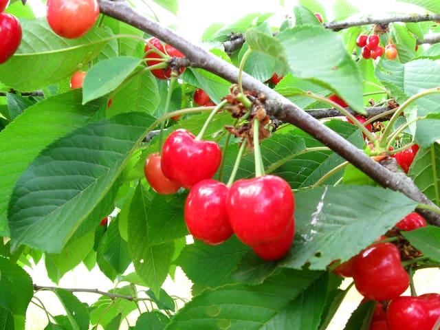 Cherries and other fruit and vegetables are free for you