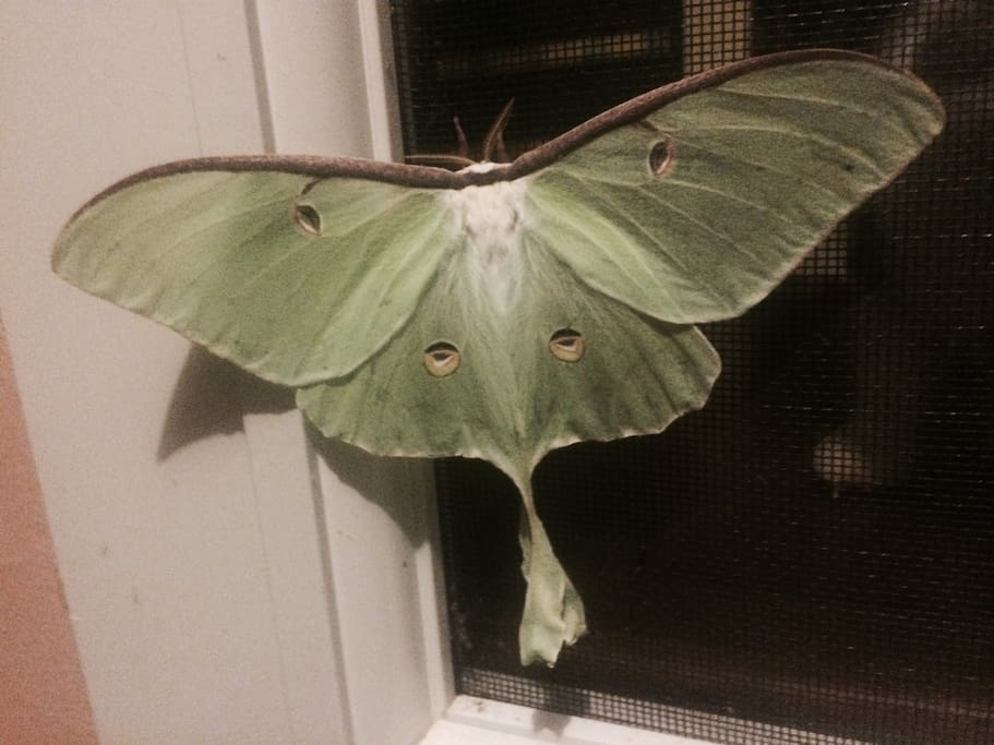 At night, a spectacular Luna moth comes to visit on the porch. Nature rules here.