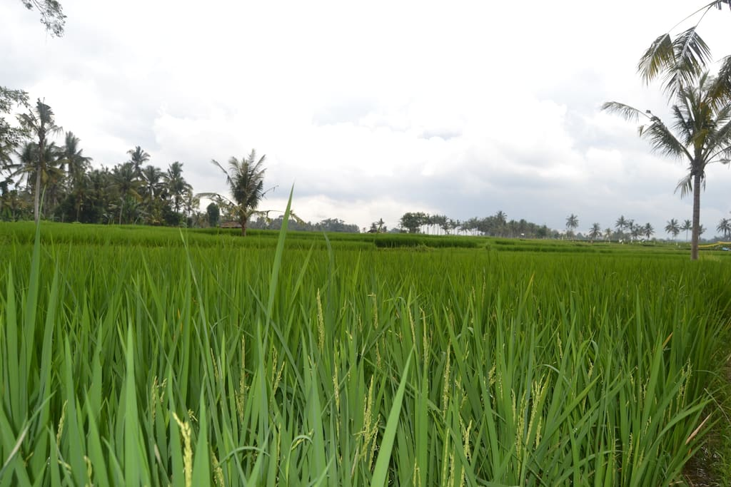 The Veiw of the Rice Fields By the Villa