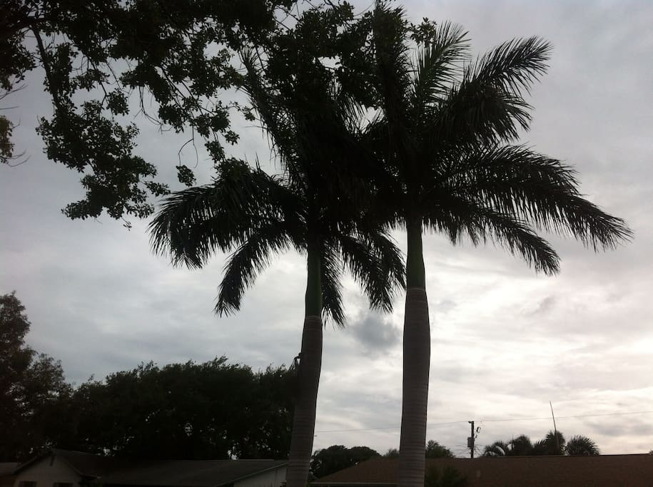 You are greeted by these beautiful King Palms.