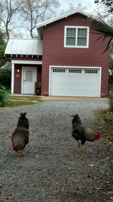 Friendly Wild Roosters Visiting.