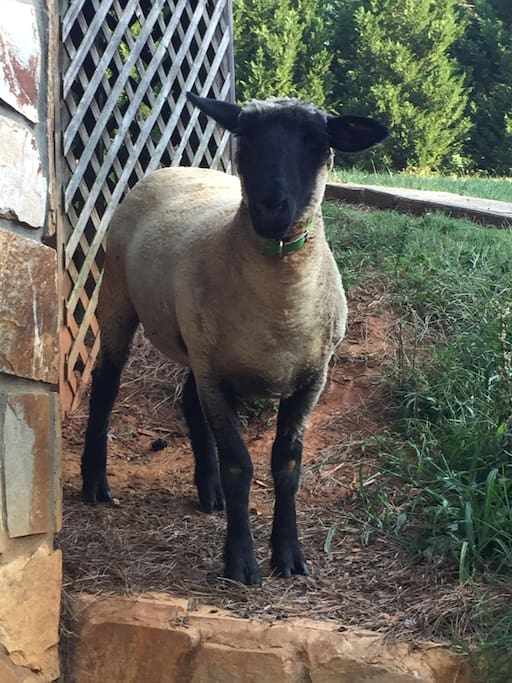 Our greeter sheep!