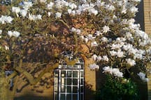 Drounces in Spring - Magnolia in full bloom