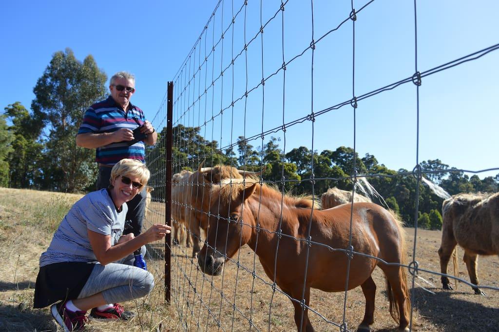Sheba Minature Horse