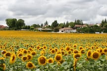 Local Sunflower fields