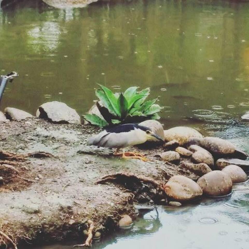 生態池的常客~夜鷺