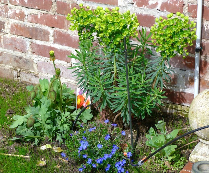euphorbe et fleurs du jardin