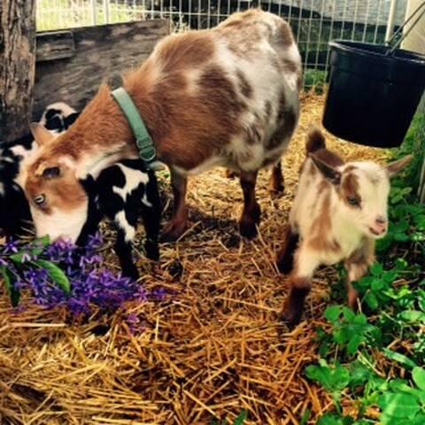 The Ginger Goat Farm - Pāhoa