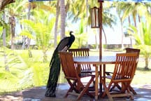 One of the outdoor dining areas - with one of the peacocks living in the garden.