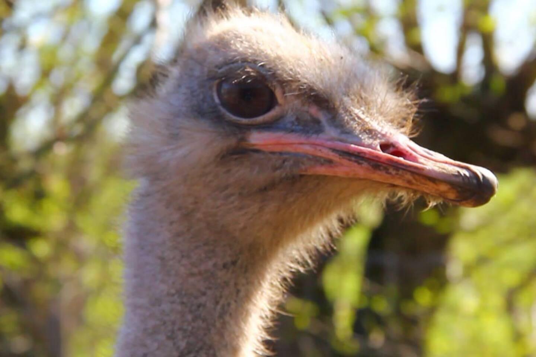 Struisvogelboerderij Struisvogelzicht