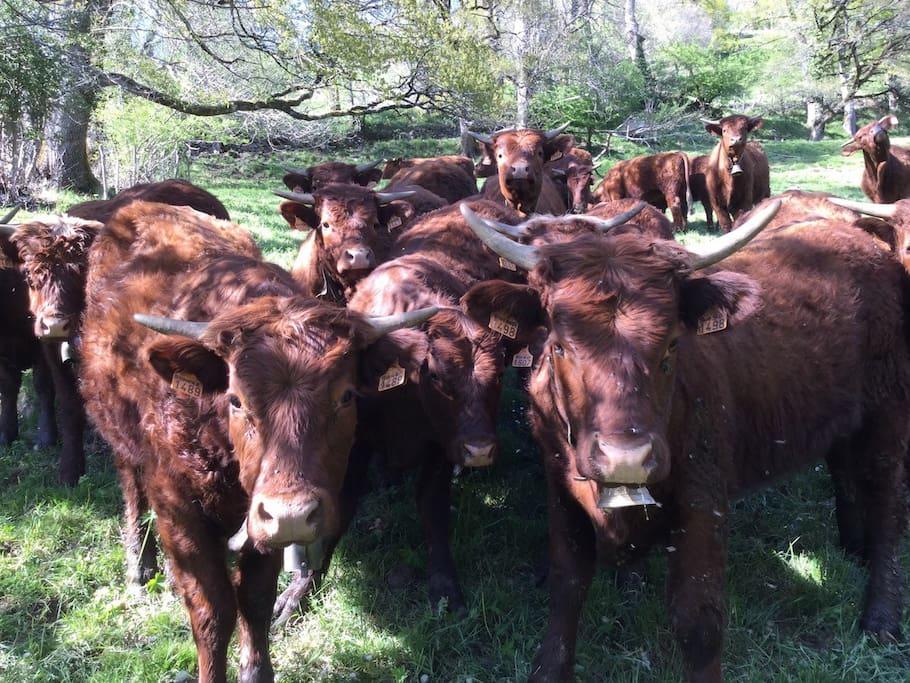 2017 - Les vaches