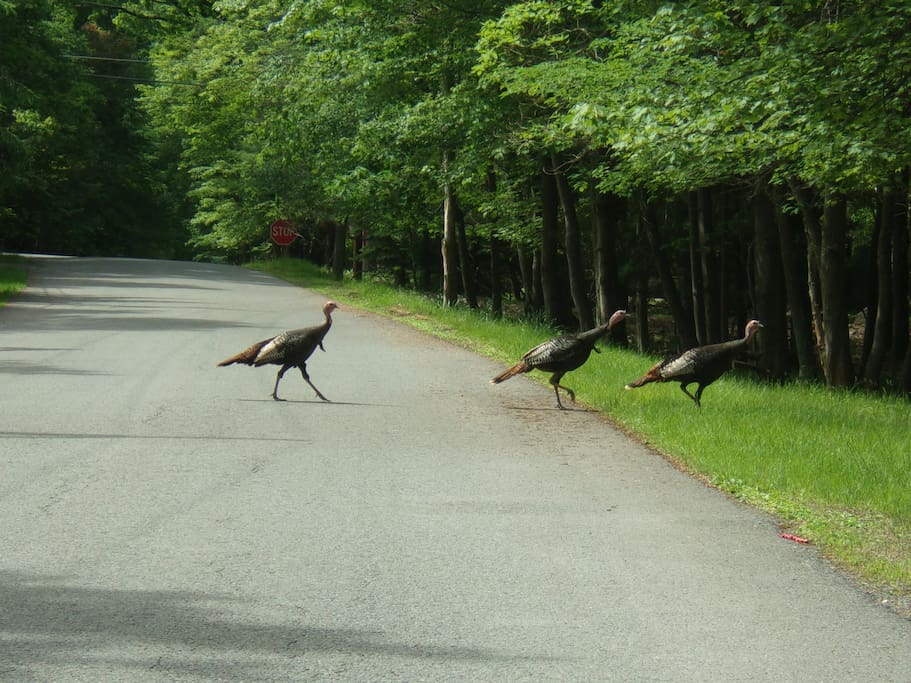 TURKEYS GOING FOR A STROLL