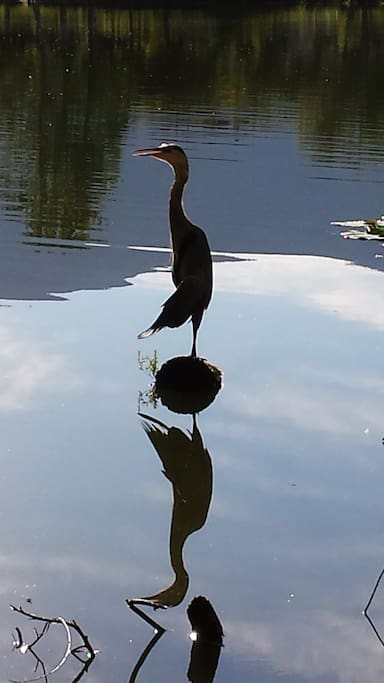 If you are lucky you will see the elusive herons.  Many species of birds and other wildlife to enjoy