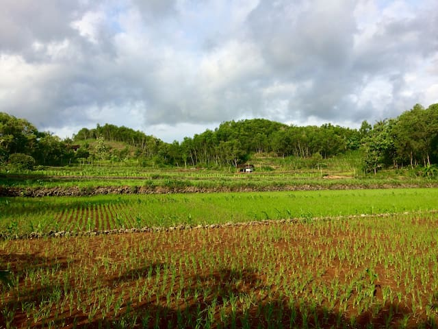 Rice fields around our place