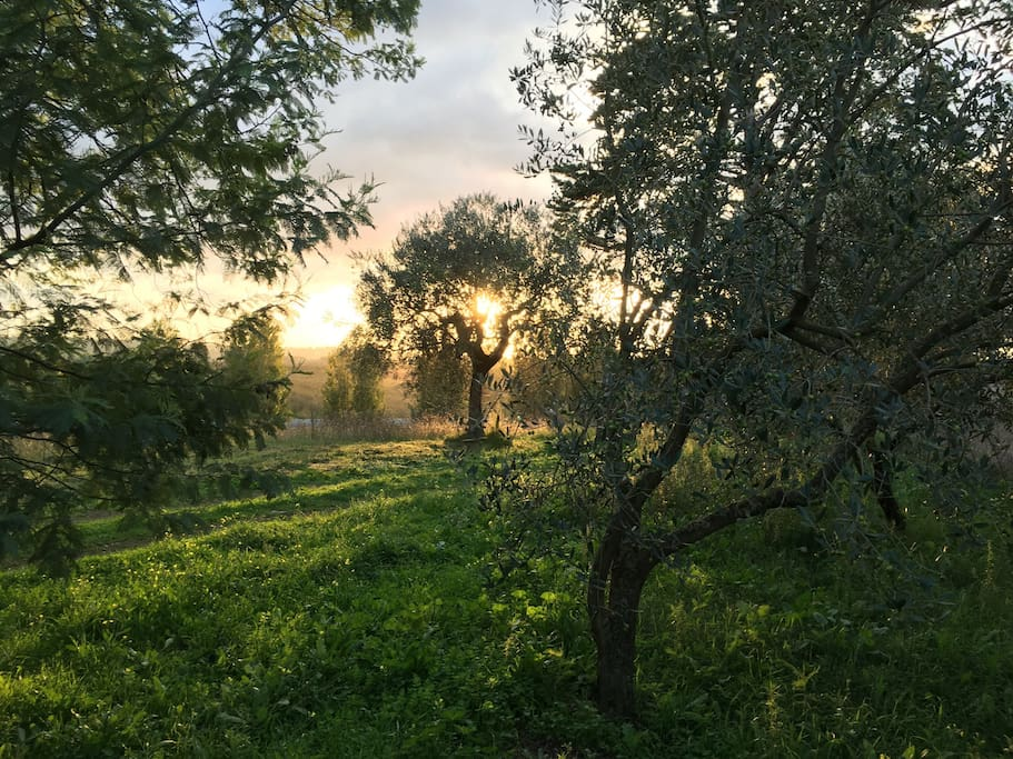 The olive trees. We produce our own olive oil.