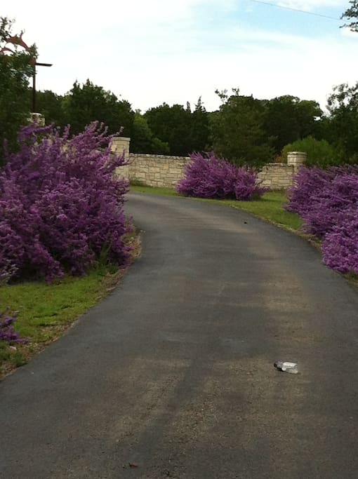 coming down the driveway looking at our purple  Texas sage